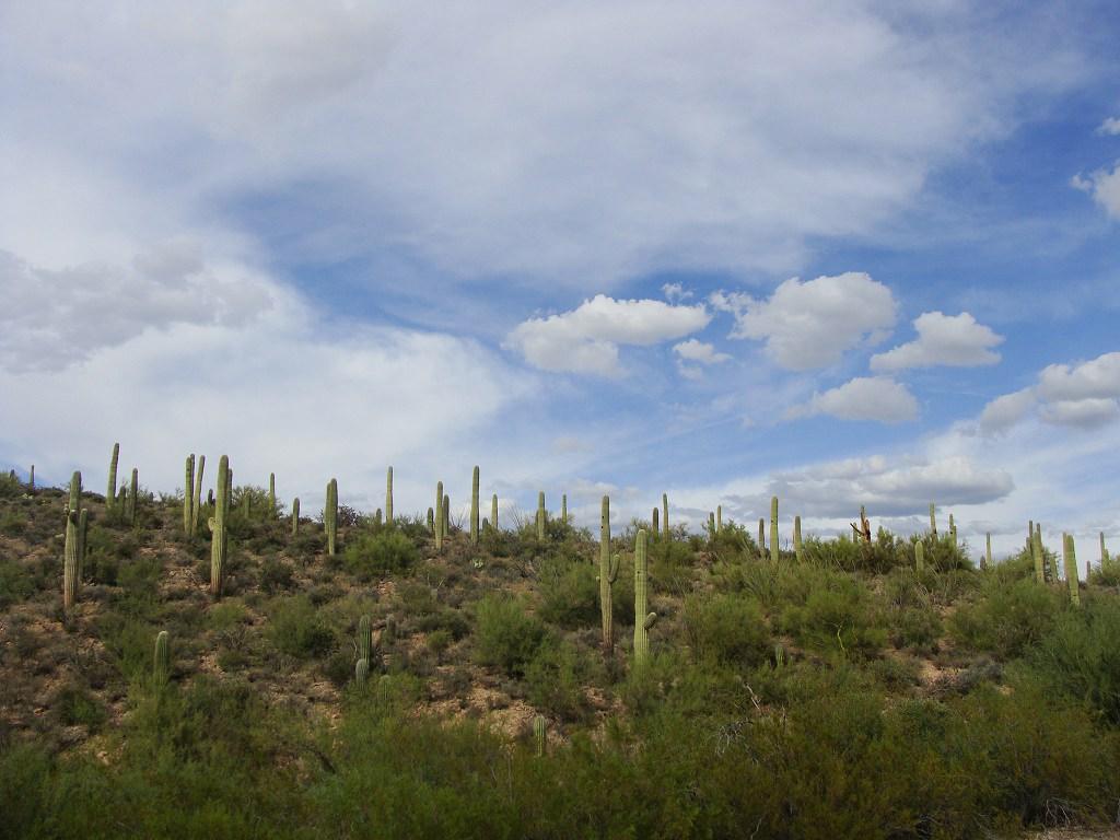 Kaktusy saguaro v Sonorské poušti